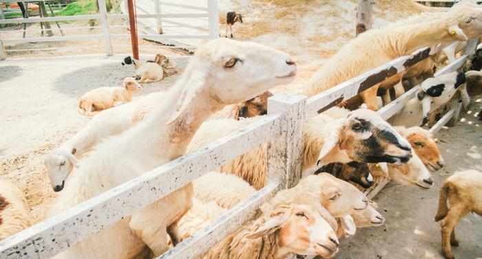 ท่องเที่ยว Khonyok Sheep Farm  ฟาร์มแกะนครนายก จังหวัดนครนายก